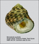 Monodonta australis