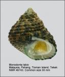Monodonta labio