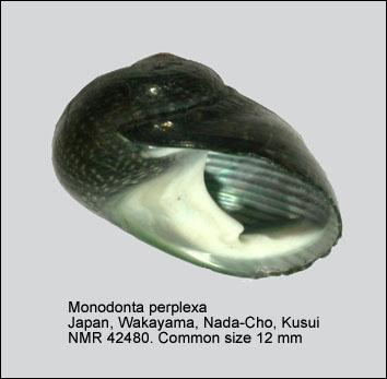Monodonta perplexa