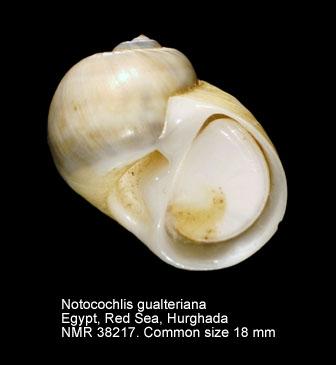 Notocochlis gualteriana