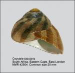 Oxystele tabularis