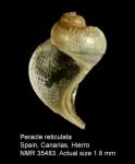 Peracle reticulata