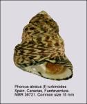 Phorcus atratus