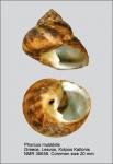 Phorcus mutabilis