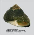 Phorcus punctulatus