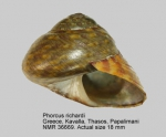 Phorcus richardi