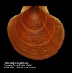 Placopecten magellanicus