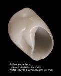 Polinices lacteus