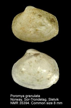 Poromya granulata