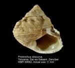 Priotrochus obscurus