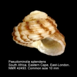 Pseudominolia splendens