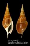 Tibia insulaechorab