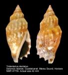 Tridentarius dentatus
