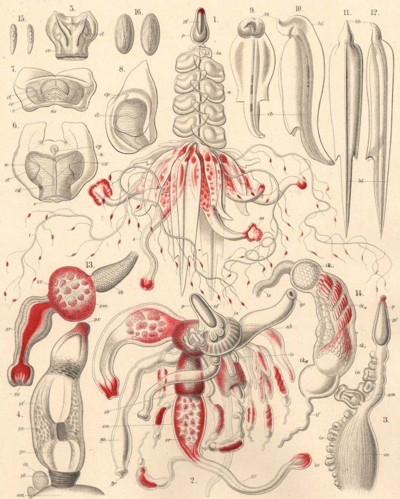 A physonect siphonophore