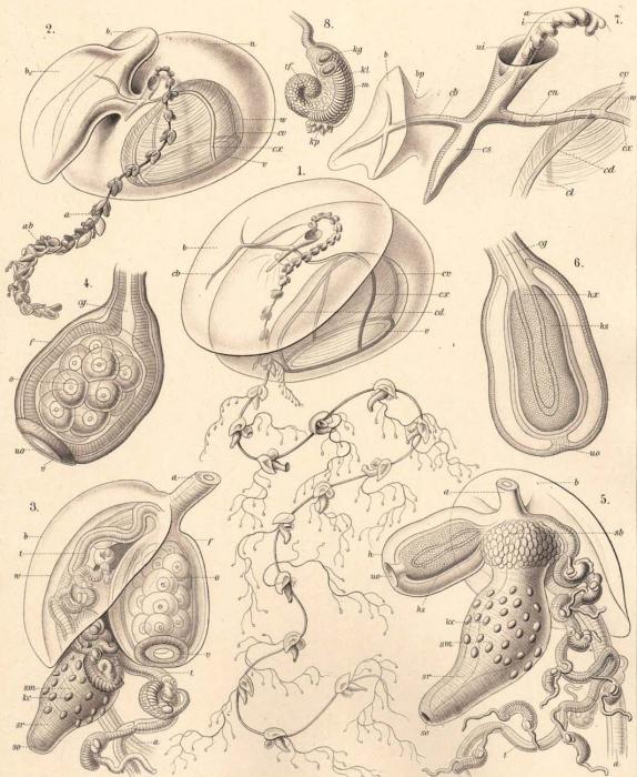 A prayid siphonophore