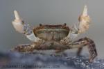 Japanese shore crab (Hemigrapsus sanguineus)