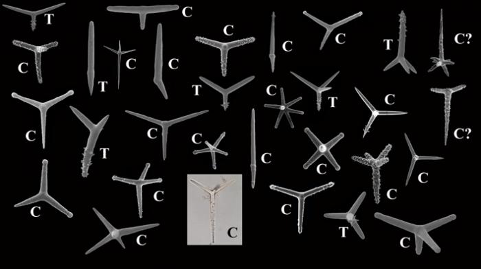 Polyactines of Cyamon and Trikentrion