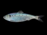 Alosa fallax (Lacepède, 1803)