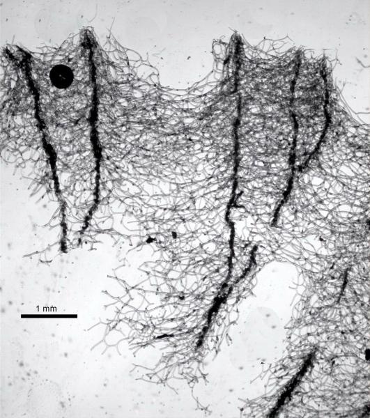 Spongia officinalis