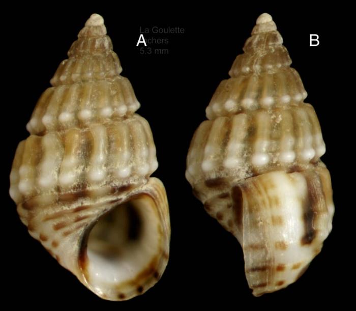 Alvania montagui (Payraudeau, 1826)Specimen from La Goulette, Tunisia (among algae, 22.06.2008), actual size 5,3 mm
