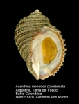 Acanthina monodon