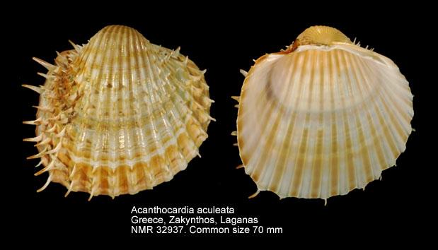 Acanthocardia aculeata