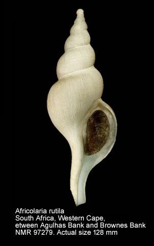 Africolaria rutila