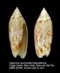 Agaronia acuminata boavistensis