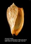 Amoria hunteri