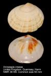 Arcopagia crassa