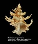 Babelomurex gemmatus