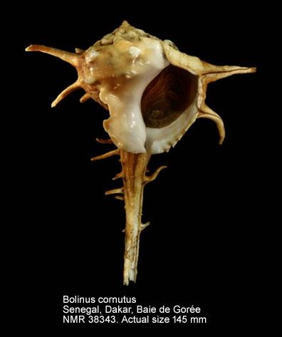 Bolinus cornutus