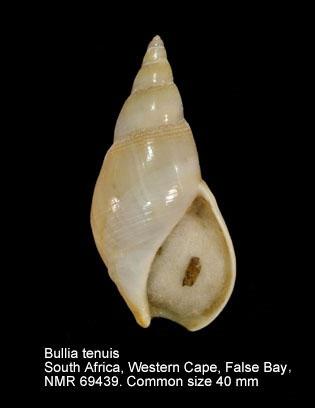 Bullia tenuis