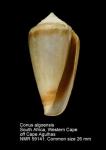 Conus algoensis