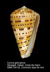 Conus genuanus