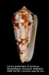 Conus gubernator