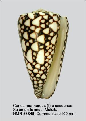 Conus marmoreus