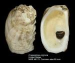Crassostrea virginica