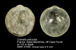 Crenella pellucida