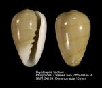 Cryptospira fischeri