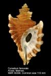 Cymatium femorale