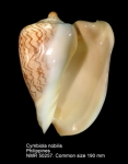 Cymbiola (Cymbiola) nobilis