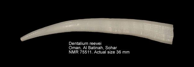 Dentalium reevei