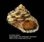 Euchelus asper