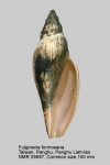 Fulgoraria (Musashia) formosana