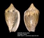Glabella denticulata