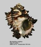 Hexaplex nigritus