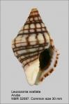 Leucozonia ocellata