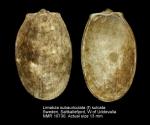 Limatula subauriculata (f) sulcata