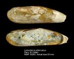 Leiosolenus attenuatus